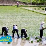 Vietnam_risaie