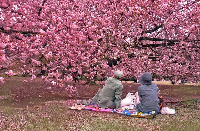 Hanami fioritura dei ciliegi in Giappone